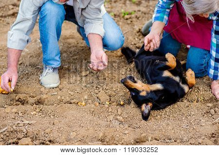 Unrecognizable senior couple planting onions in row, black dog