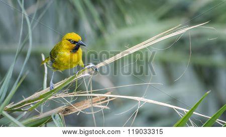 Spectacled Weaver In Kruger National Park, South Africa