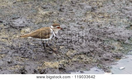 Three-banded Plover In Kruger National Park, South Africa