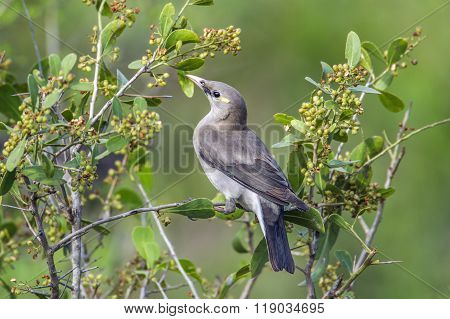 Wattled Starling In Kruger National Park, South Africa