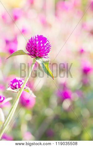 Globeamaranth blooming (Gomphrena globosa) on blur background