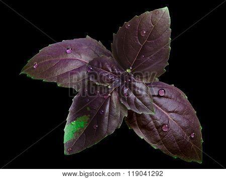 Purple Basil Isolated On White