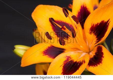 Mottled orange lily