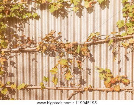 Retro Looking Vitis Plant
