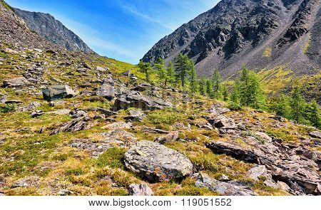 Several Larches On Slope Of Mountain Tundra