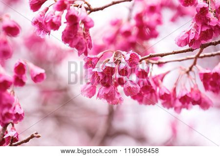 Bellflower cherry (Prunus campanulata), also known as  Taiwan cherry, Formosan cherry, in full bloom. high key.