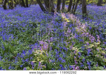 Purple Bluebells