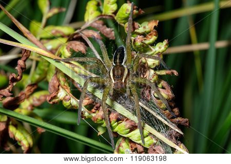 Young Raft Spider (dolomedes Fimbriatus)