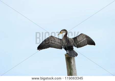 Cape Cormorant on Pole