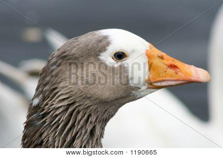 Goose Close Up