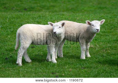 Lamb Siblings