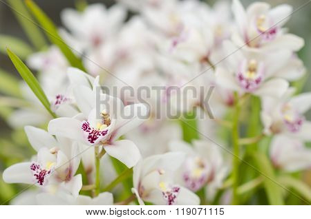 White orchidaceae with purple freckles