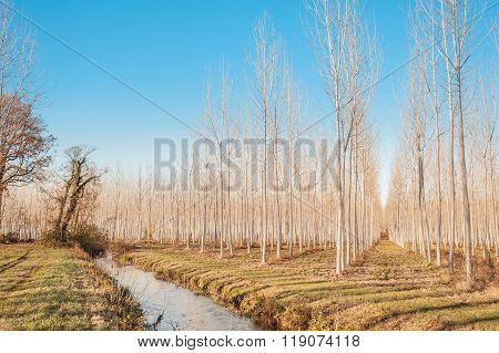 Forest Of Poplars.