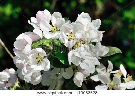 Beautiful Flowers Of Apple-tree Closeup