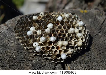 Wasp Nest Lying On A Tree Stump.