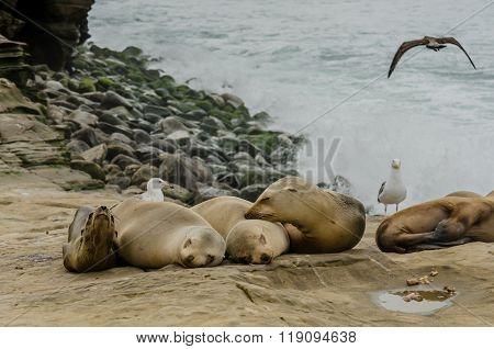 Young Sea Lions Sleeping On Rocks