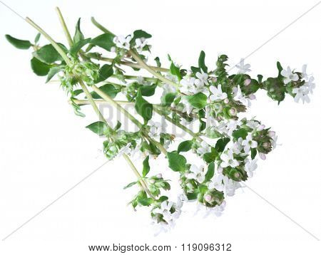 Green fresh thyme with flowers on a white background.
