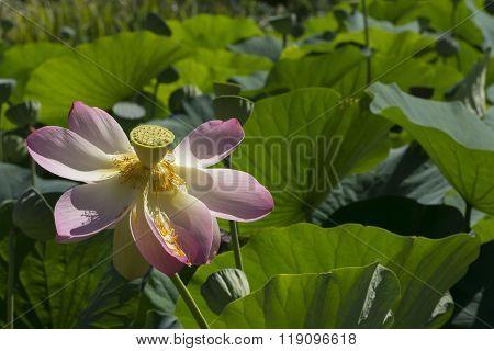 Nelumbo Nucifera, Sacred Lotus
