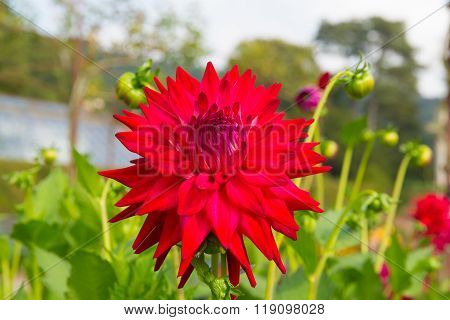 Dahlia tahoma tom tom semi-cactus colourful flower red in colour in a garden