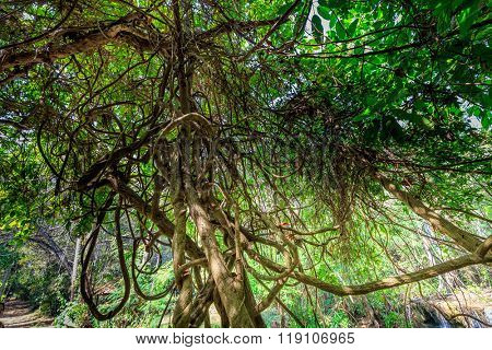 Dense tangled lianas in the Thailand jungle