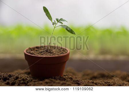 Tomato seedlings in a pot Organic gardening