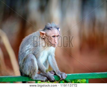 Bonnet Macaque India.