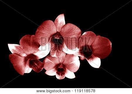 Top View Of Maroon Dendrobium Orchid In Black Background
