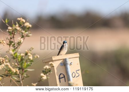 Blue tree swallow bird