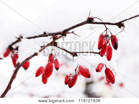 Ice covered frozen berries of red brier