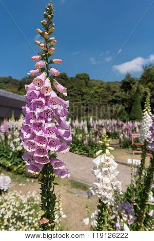 Foxglove Flowers Bloom In Doi Inthanon National Park, Chiang Mai, Thailand.