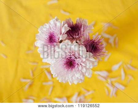 Gerber Purple Flower On Yellow Background