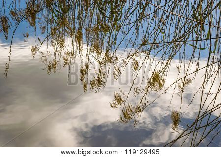 Dry Pampas Grass Branches Reflected In Water