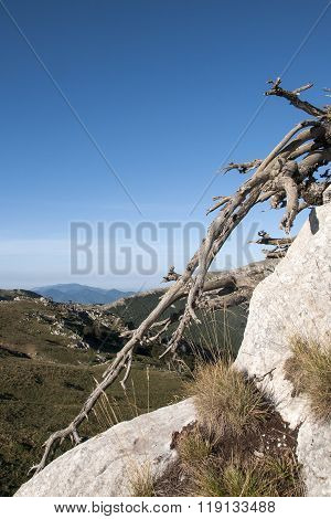 Pino Loricato Tree In Calabria