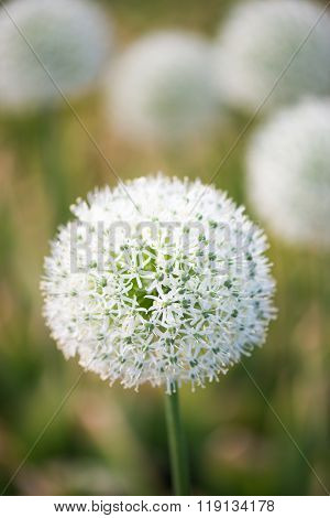 beautiful flower of white Allium
