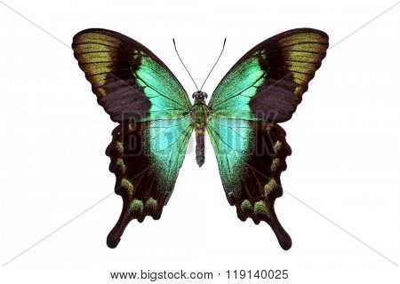 Beautiful colorful tailed butterfly with dark cyan wings isolated on white. Papilio, Palinuris.