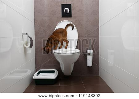Curious Abyssinian Cat Sitting On Toilet Bowl And Looking Down