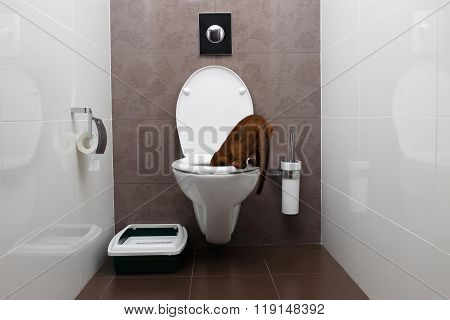 Curious Abyssinian Cat Looking In Toilet Bowl