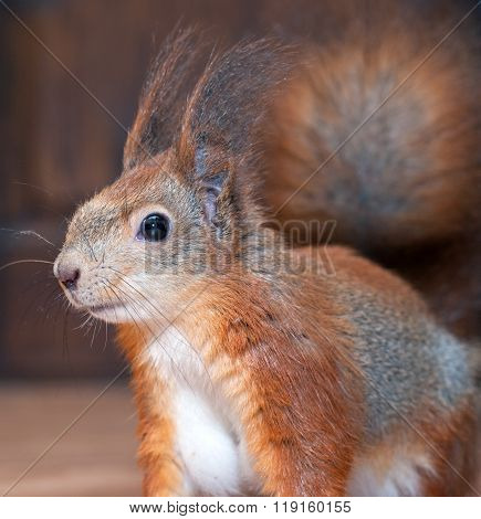Red squirrel at home