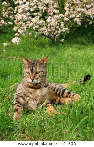 Bengali Special Breed Cat