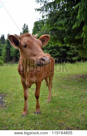 curious cow in the pasture