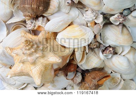 Sea cockleshells background