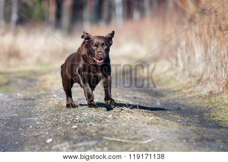 brown labrador dog outdoors