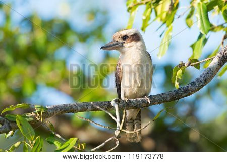 Laughing Kookaburra sitting in a tree, Queensland, Australia