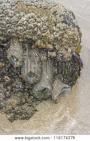 Anemones And Barnacles On An Ocean Tidepool