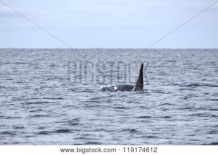 Killer whale swims in the arctic sea