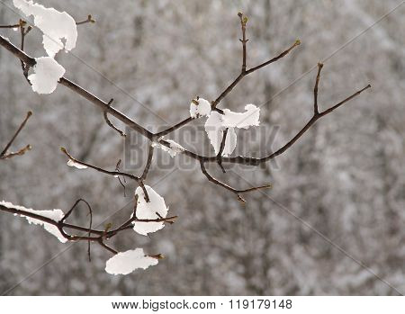 snow on the twig