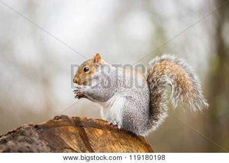 American grey squirrel, Sciurus Carolinensis