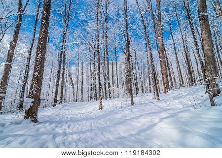 Maple woods buckets on trees.