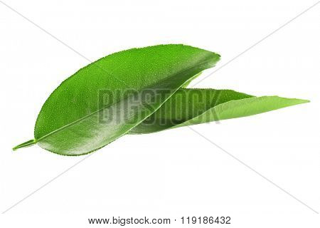Ficus leaves, isolated on white