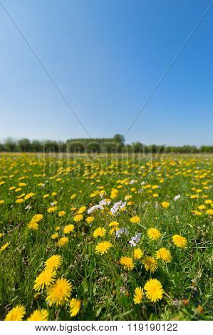 Blooming yellow dandelions and cuckoo-flower in landscape
